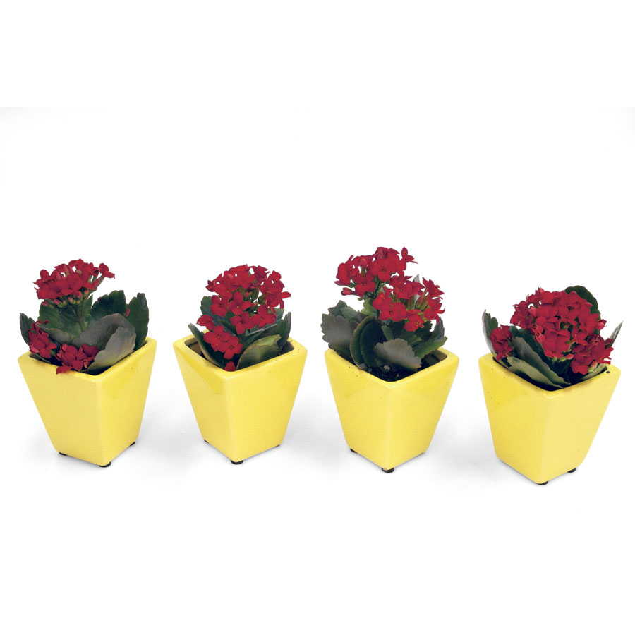 Red Kalanchoe Miniature Houseplant Set Image
