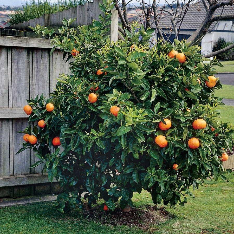 Citrus 'Washington' Navel Orange Tree Image