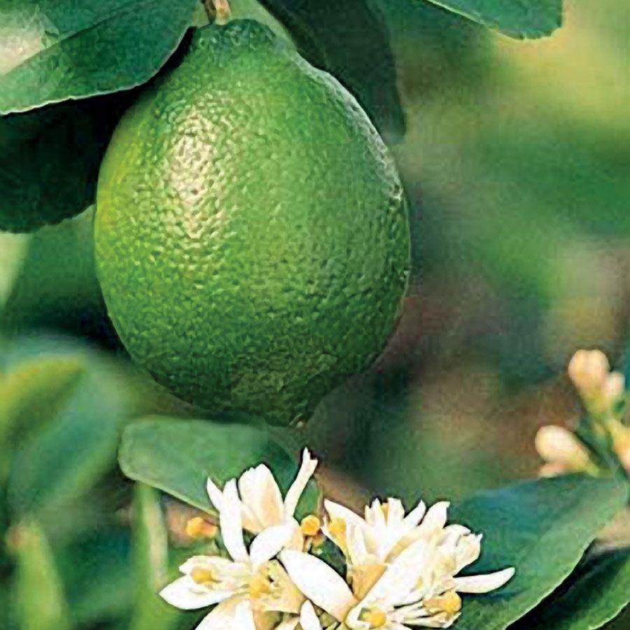 Citrus 'Bearss' Lime Tree Image