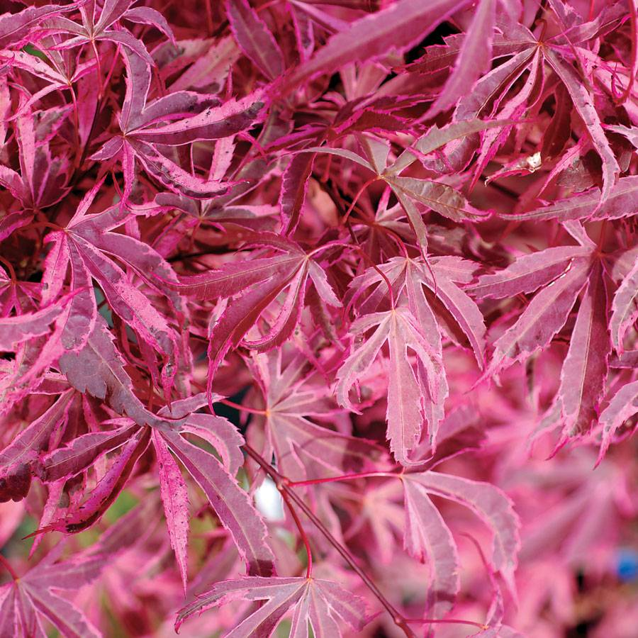 Shirazz Japanese Maple From Park Seed