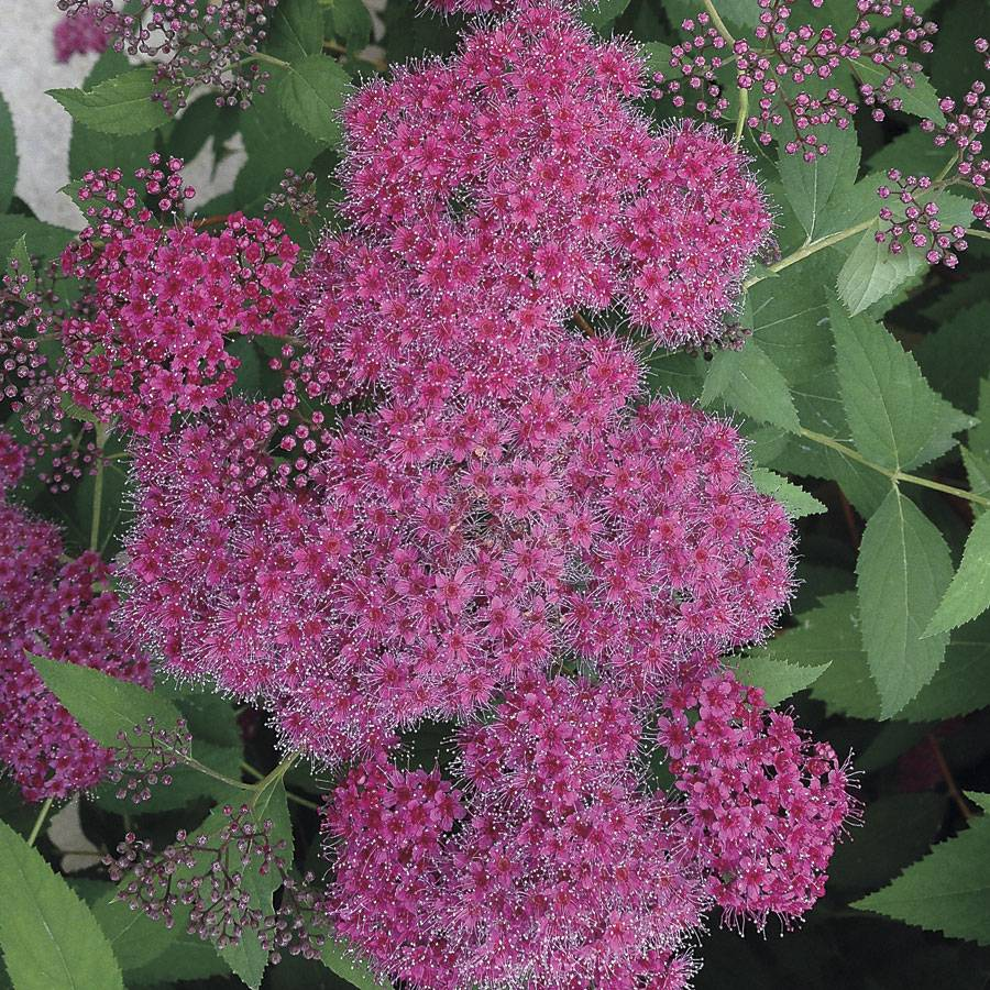 Double Play Red Spirea From Park Seed