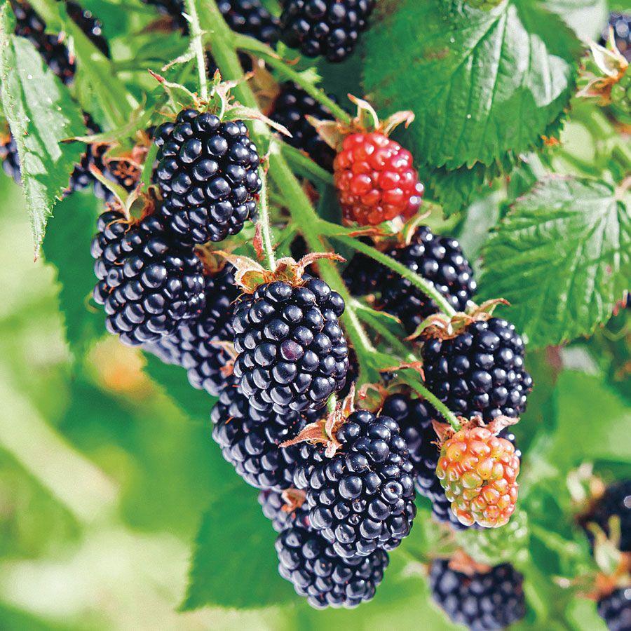 Chester Blackberry Shrub Image