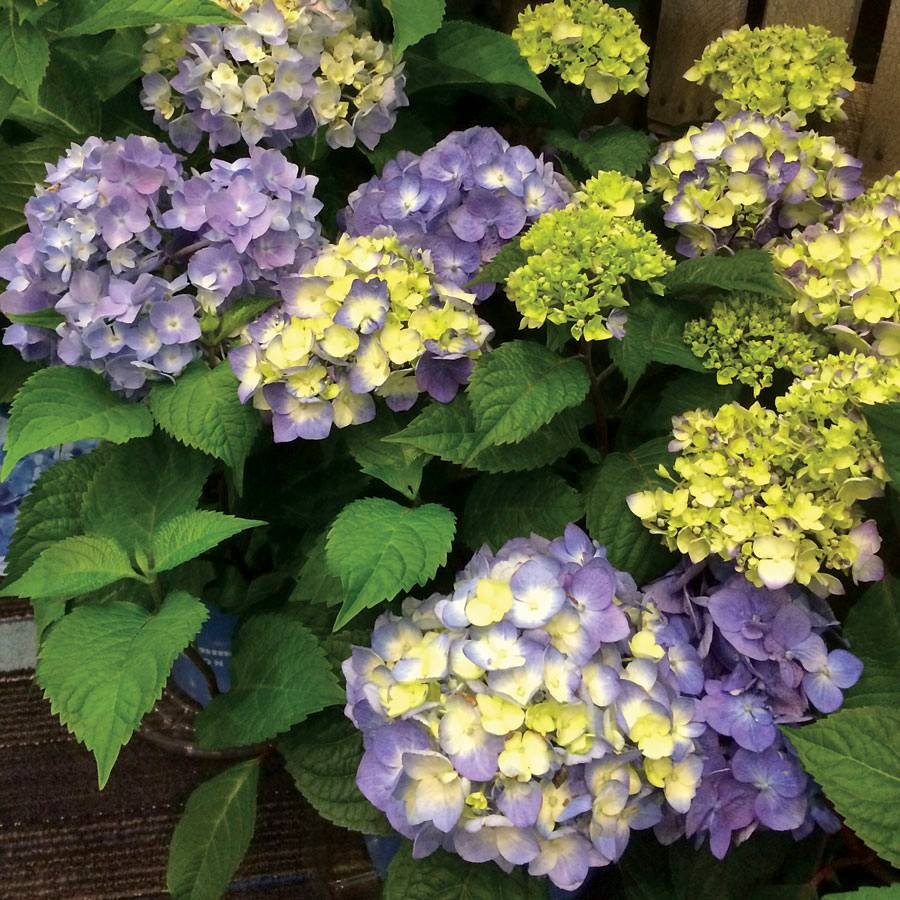 Endless SummerR BloomStruckR Hydrangea