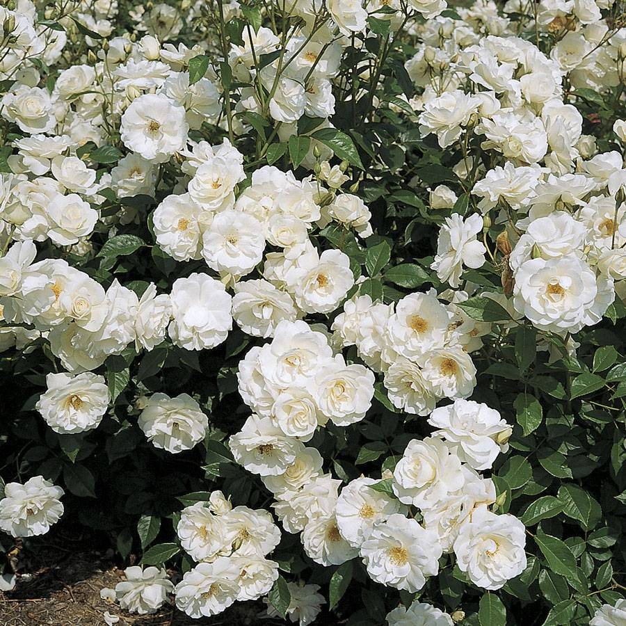 Iceberg Climbing Rose From Park Seed