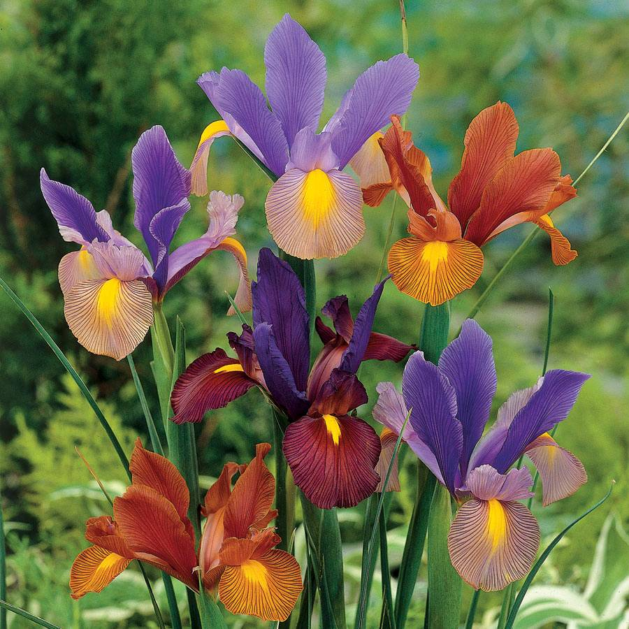 Dutch Iris Tiger Mix Pack Of 10 From Park Seed