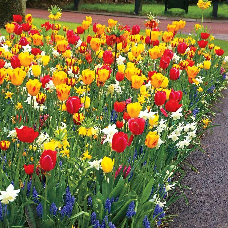 Tulip Sunbeam Mix Image