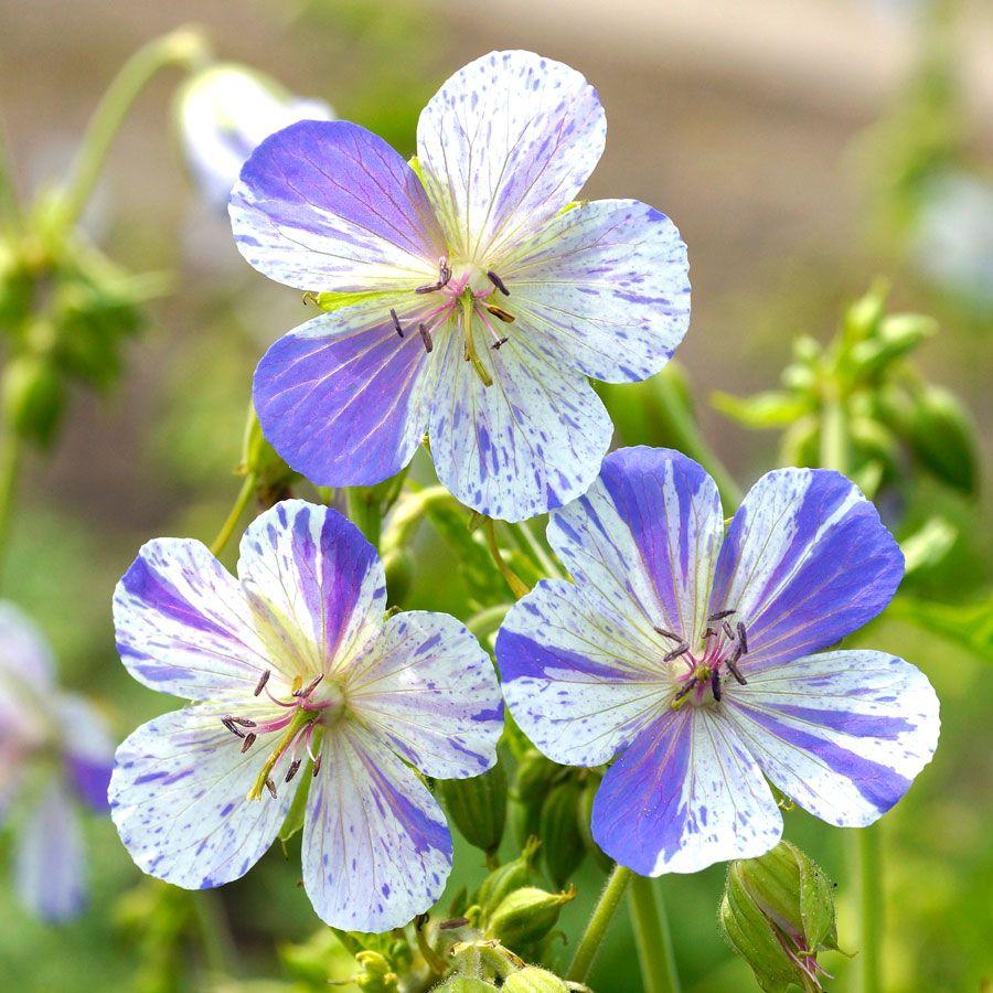 Geranium 'Delft Blue' Image