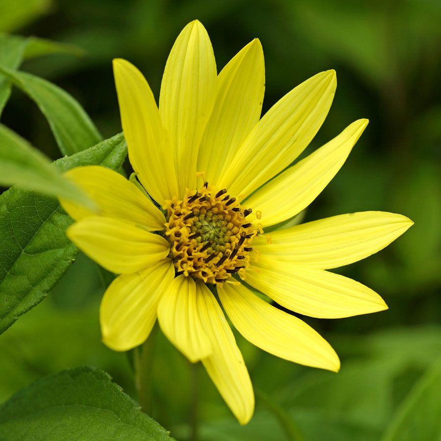 Lemon Queen Perennial Sunflower Image