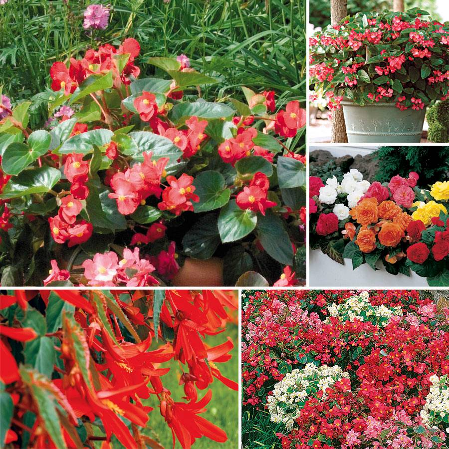 Top Begonia Seed Collection Image