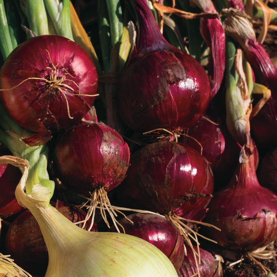 Red Wing Hybrid Onion Sets Image