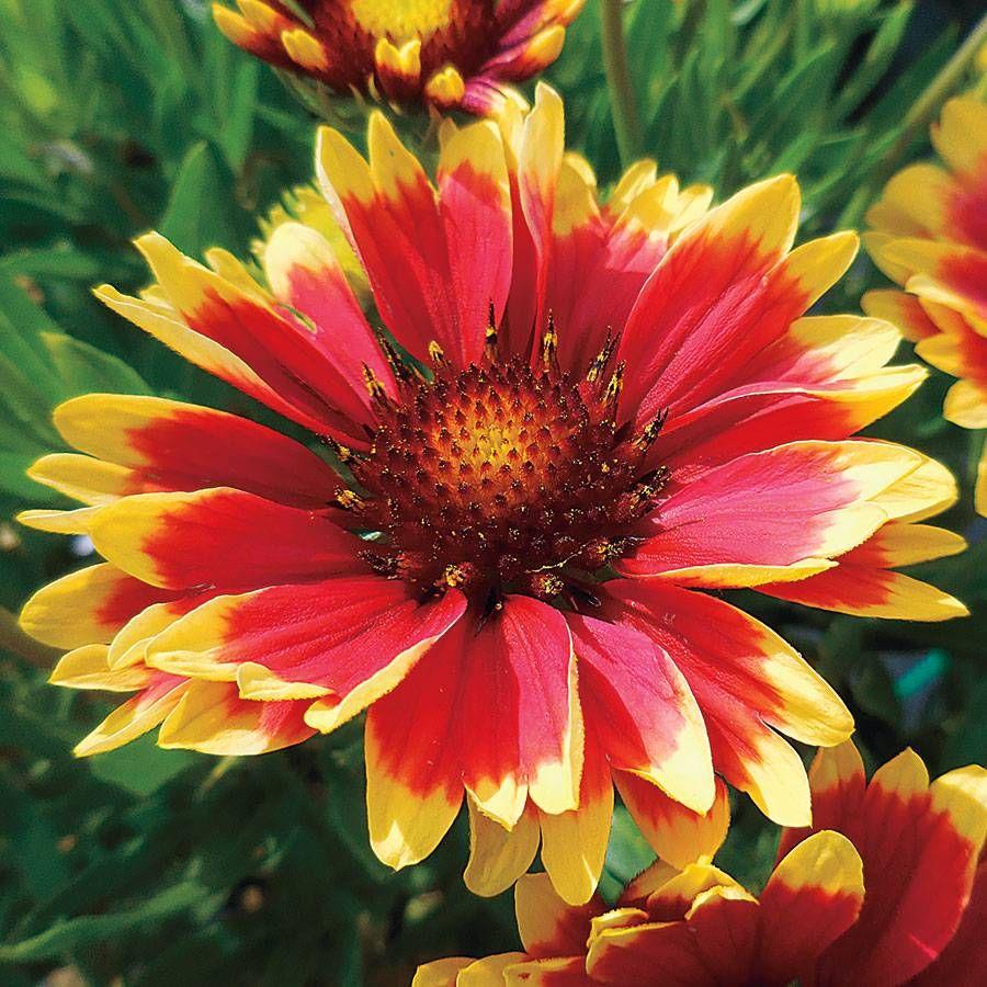 Sunset Cutie Blanket Flower Image