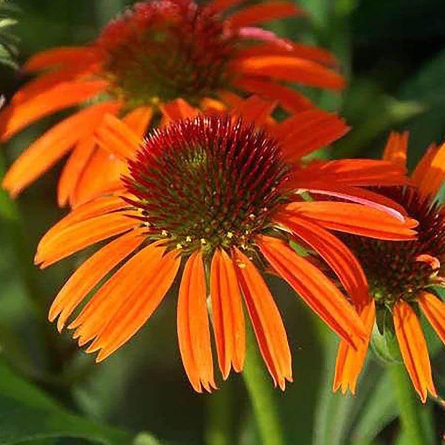 Orange Skipper Coneflower Image