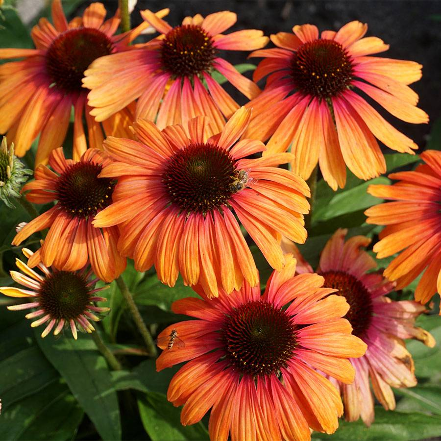 Echinacea Butterfly™ Rainbow Marcella Image