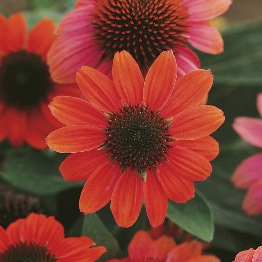 Sombrero® Hot Coral Coneflower from Park Seed