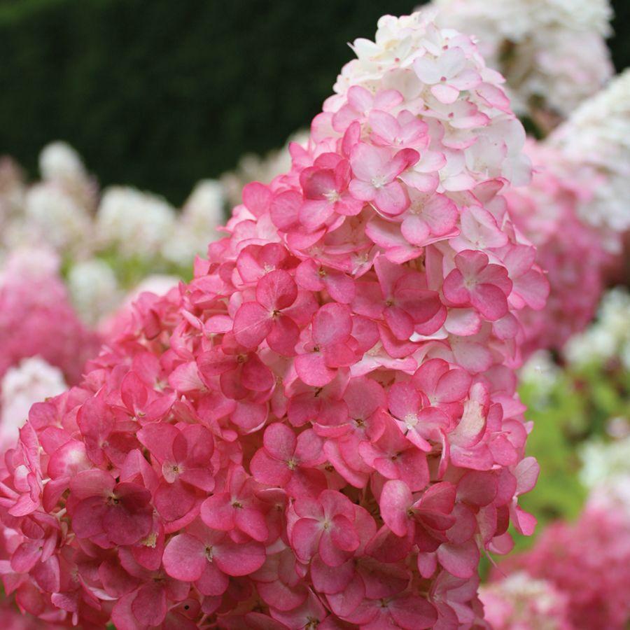 Hydrangea Vanilla Strawberry™ Image