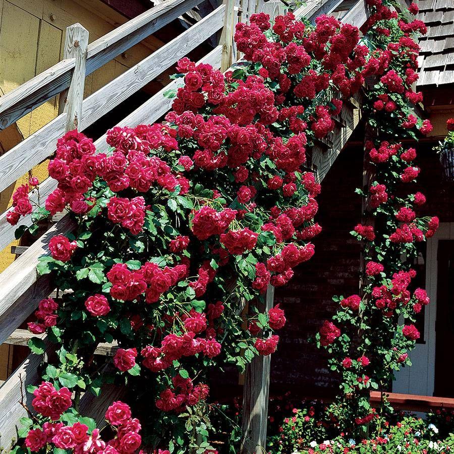 Blaze Improved Climbing Rose Image