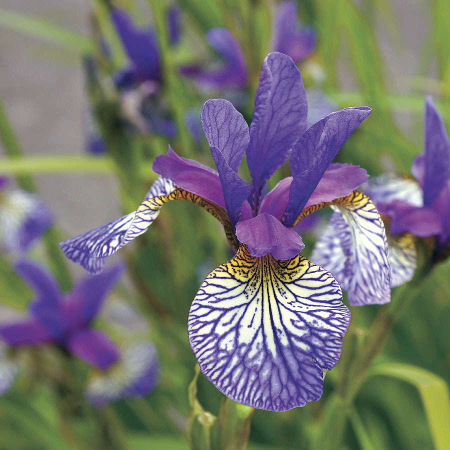 Shakers prayer siberian iris from park seed siberian iris shakers prayer izmirmasajfo
