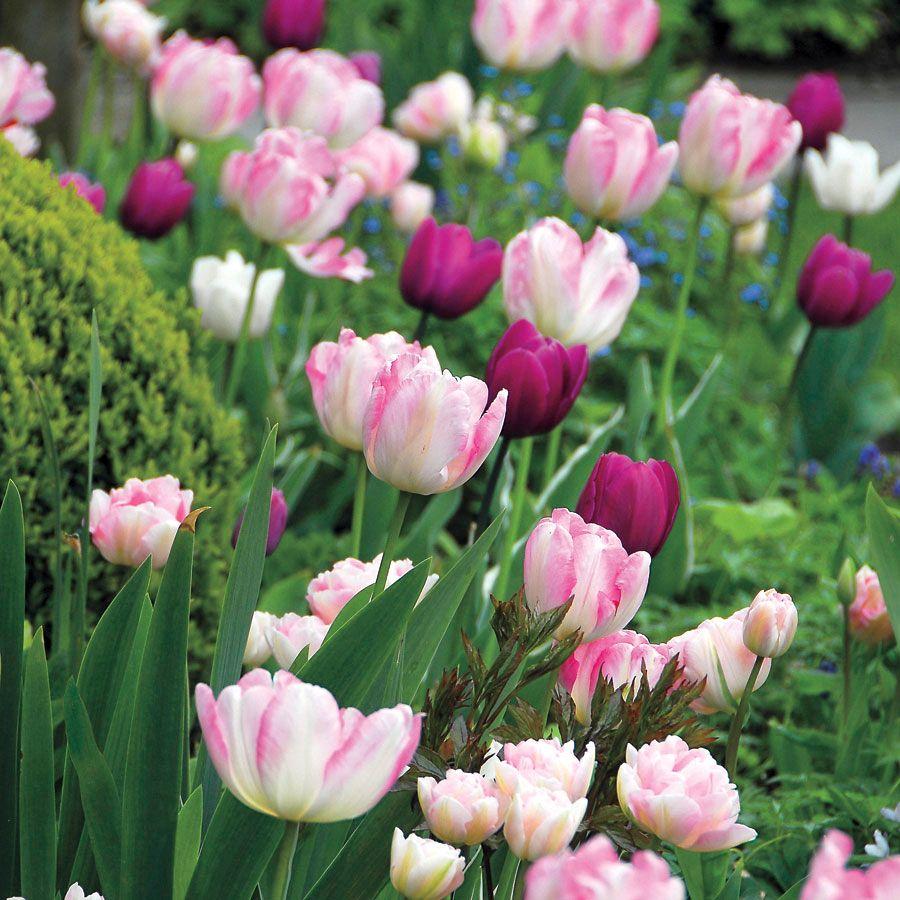 Tulip Kiss n' Tell Mix Image