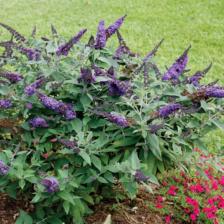 Buddleia Pugster Blue 174 From Park Seed