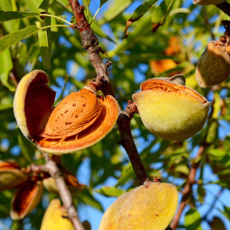 Almond Tree Www Pixshark Com Images Galleries With A Bite