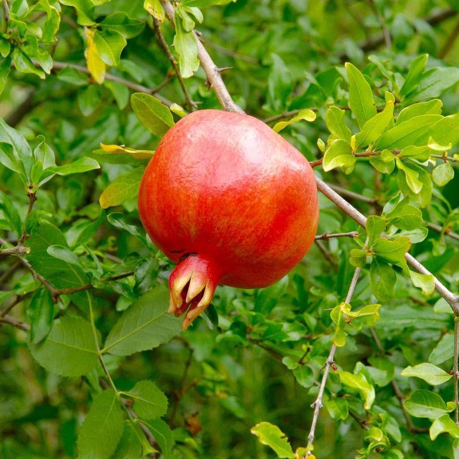 Punica Crimson Sky™ Pomegranate Image