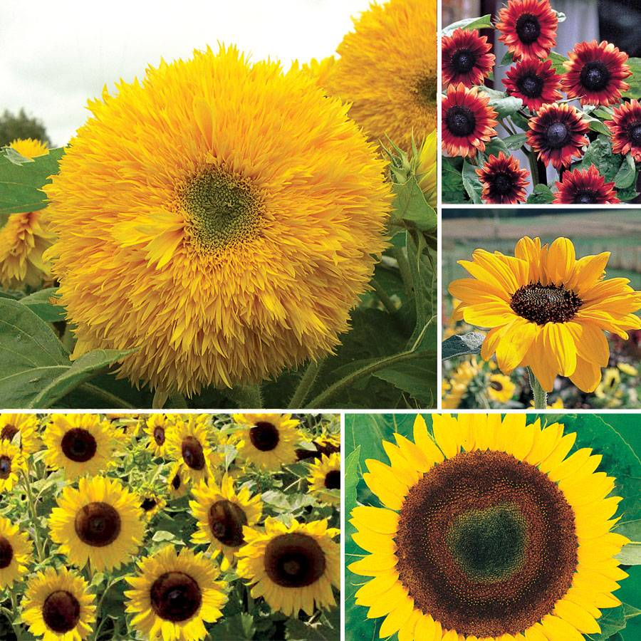Favorite Sunflower Seed Collection Image