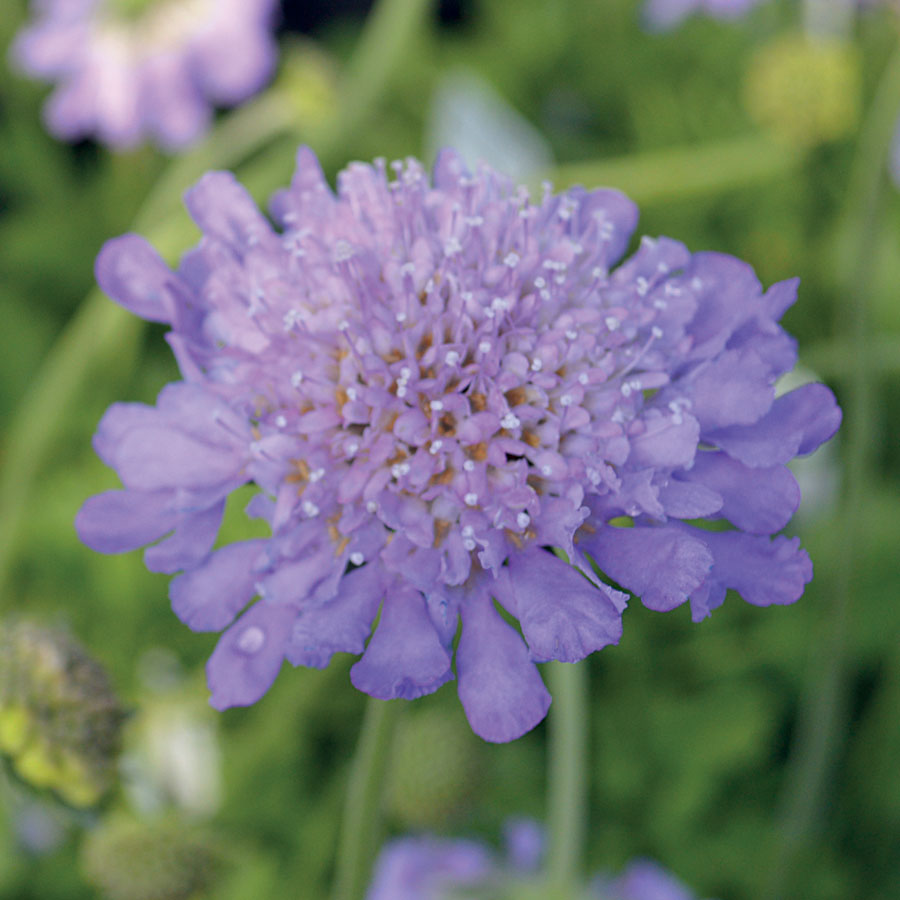 Butterfly Blue Pincushion Flower Image