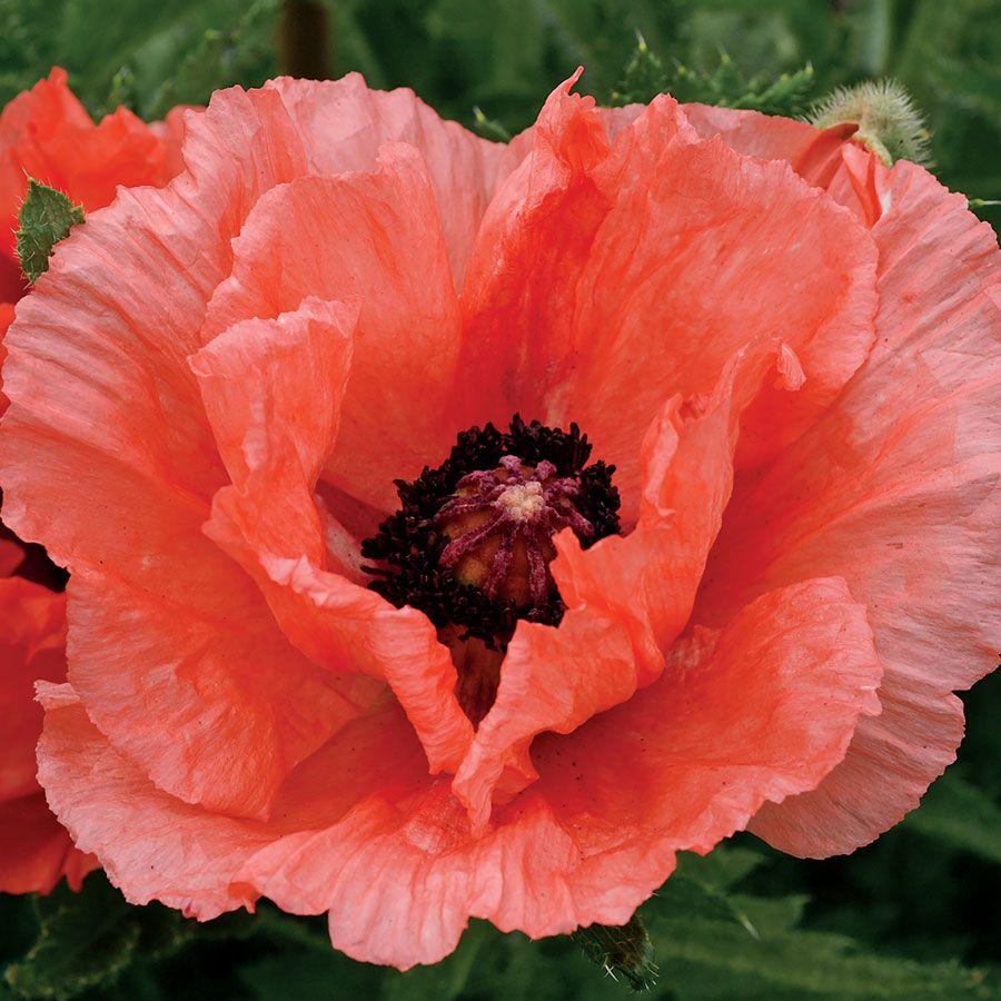 Double Pleasure Oriental Poppy From Park Seed