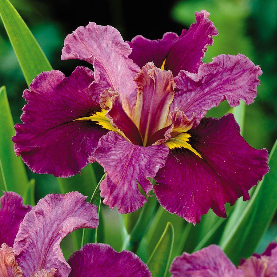 Jack Attack Louisiana Iris Image