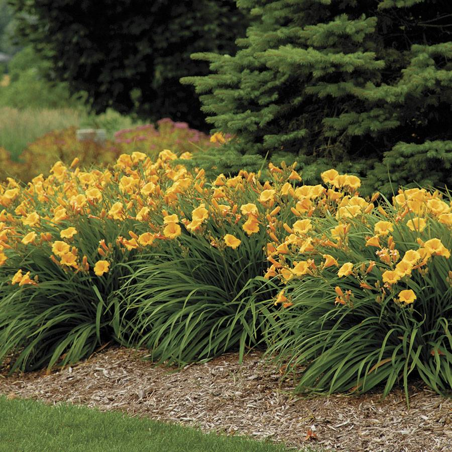 hemerocallis 39 stella de oro 39 from park seed. Black Bedroom Furniture Sets. Home Design Ideas
