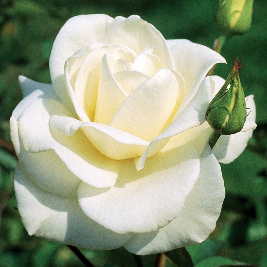 John F. Kennedy Hybrid Tea Rose Image