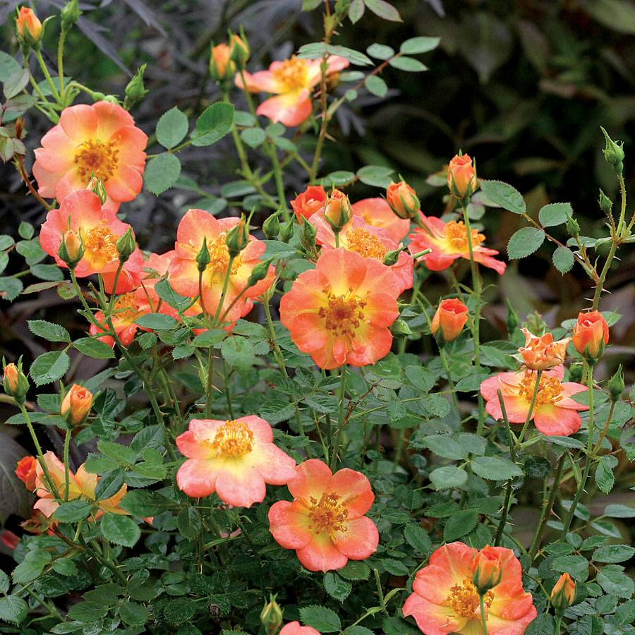 Oso Easy 174 Paprika Shrub Rose From Park Seed