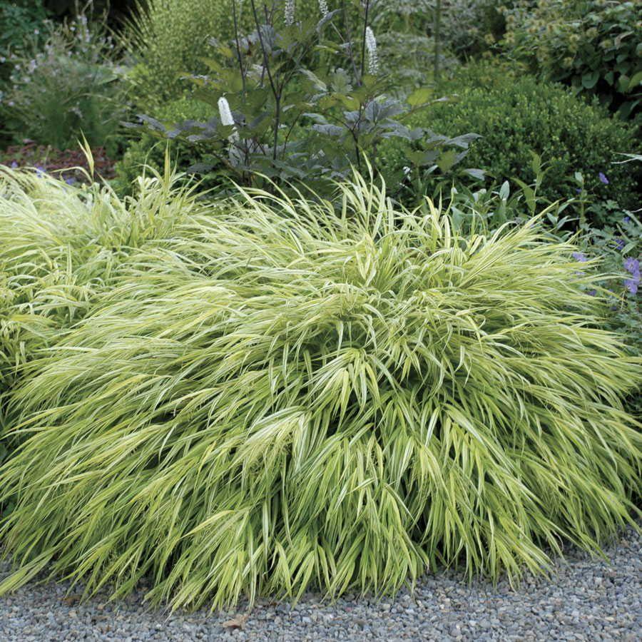 Golden Hakone Grass Image