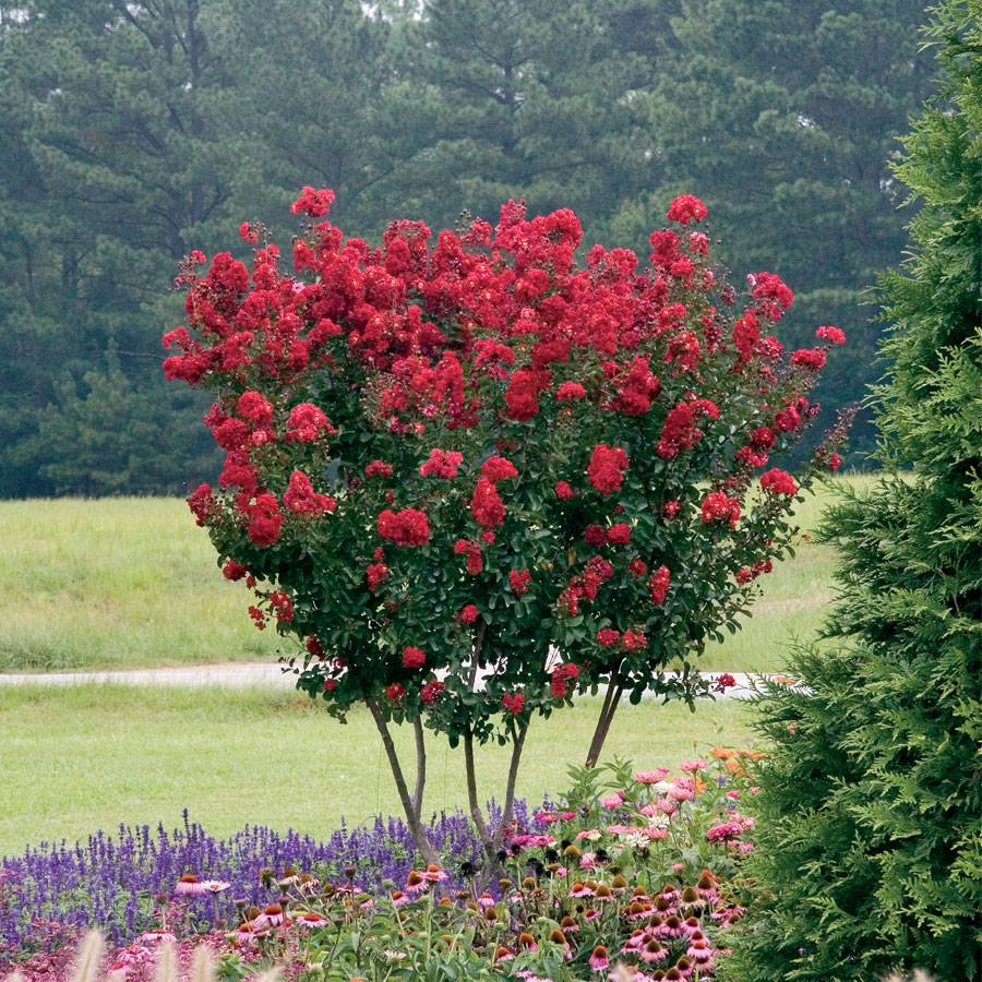 Red Rocket 174 Crapemyrtle From Park Seed