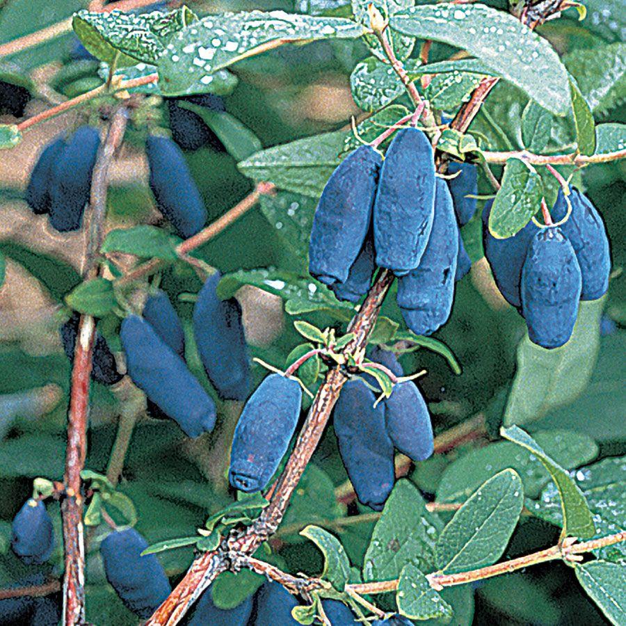Lonicera Blue Velvet® Honeyberry Image