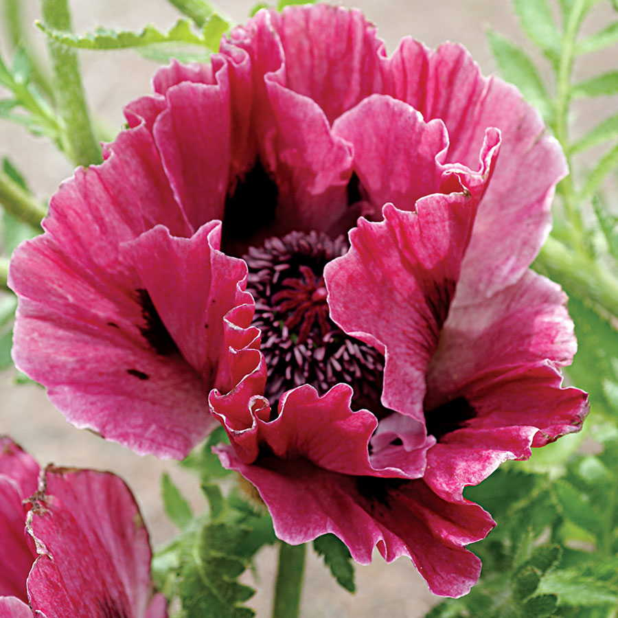 Harlem Oriental Poppy From Park Seed