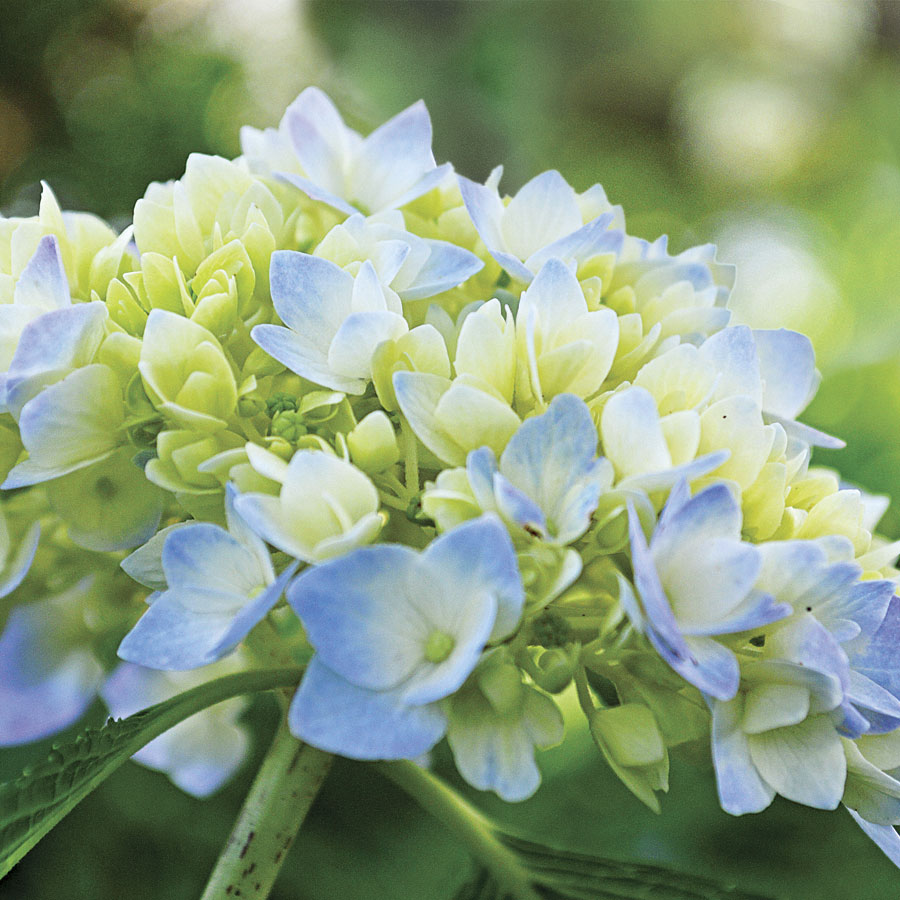 Unique Endless Summer Hydrangea from Park Seed AG08
