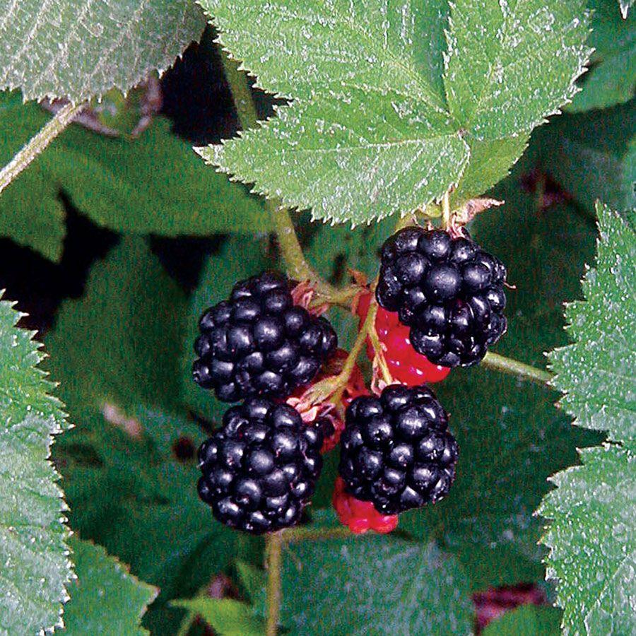 Blackberry Black Satin From Park Seed