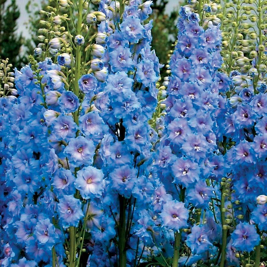 Delphinium 'Blue Lace' Image