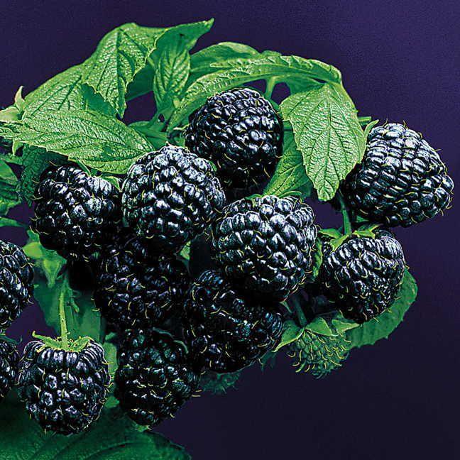 Rubus 'Jewel' Image