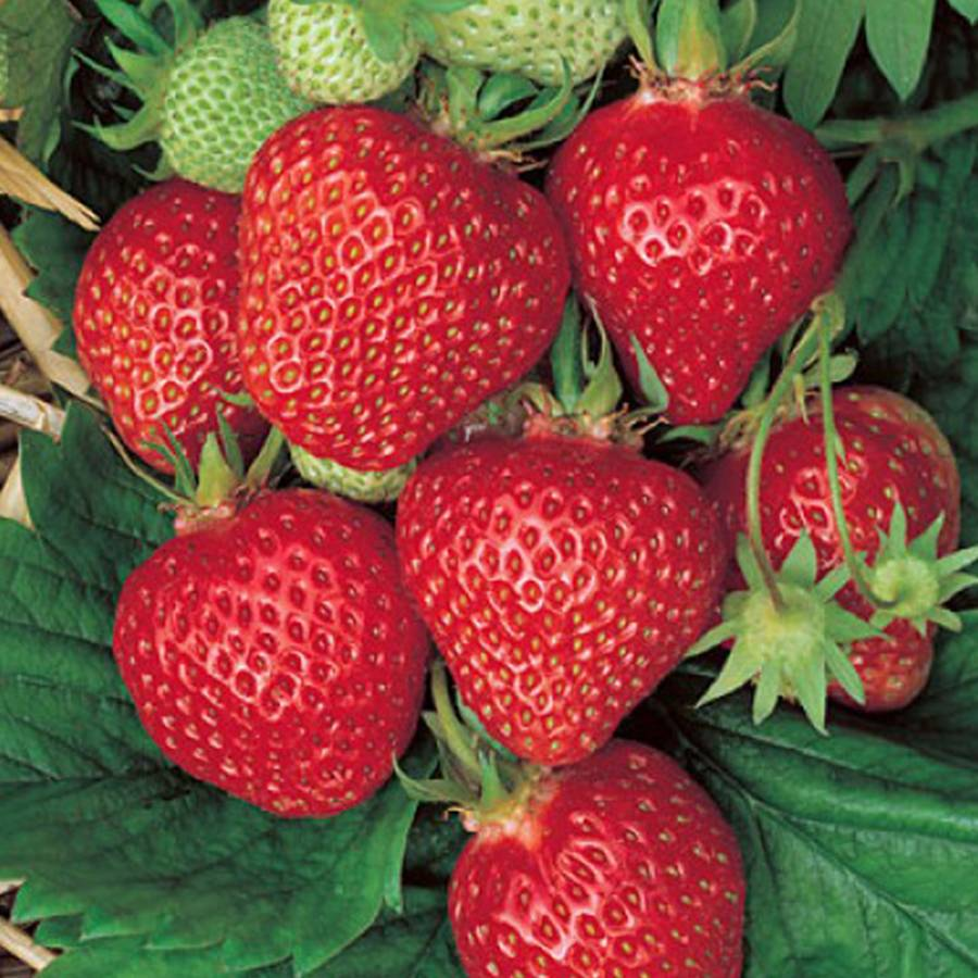 Quinalt Strawberry Plant