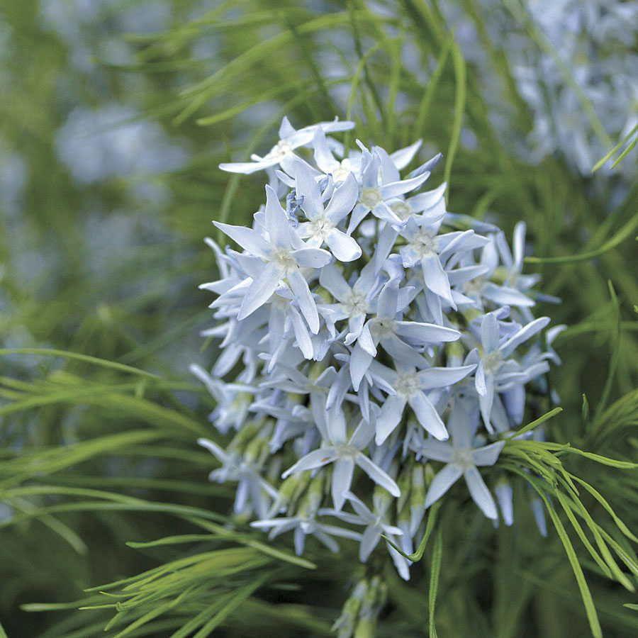 Amsonia Arkansas Blue Star Image