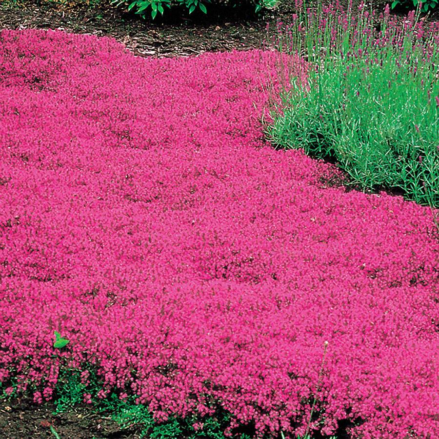 Elfin thyme ground cover round designs for Low maintenance perennials zone 4