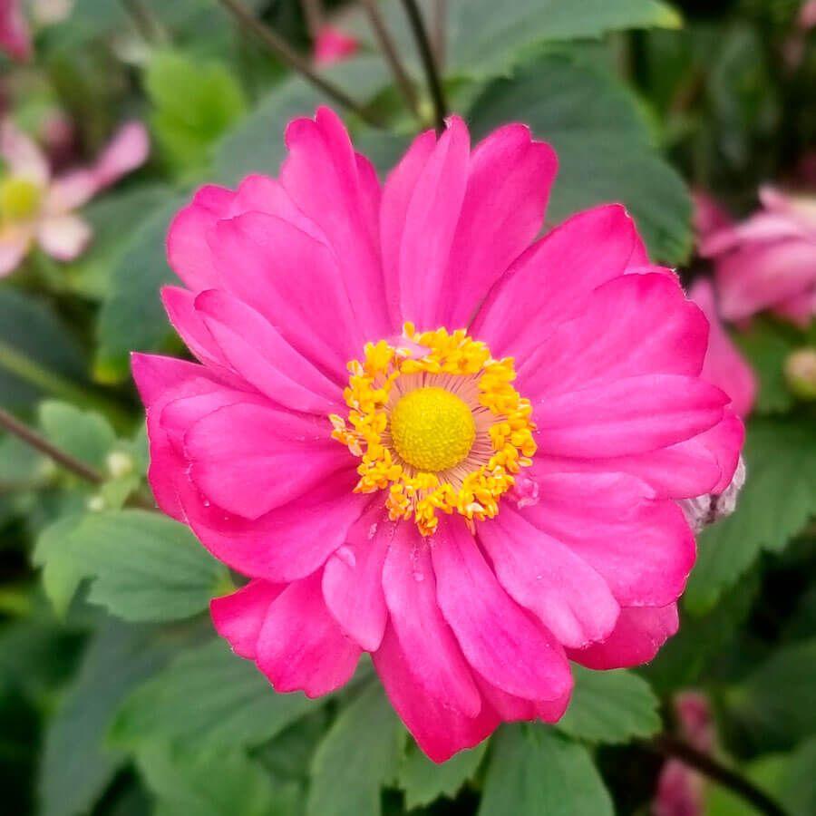 Anemone 'Pamina' Image