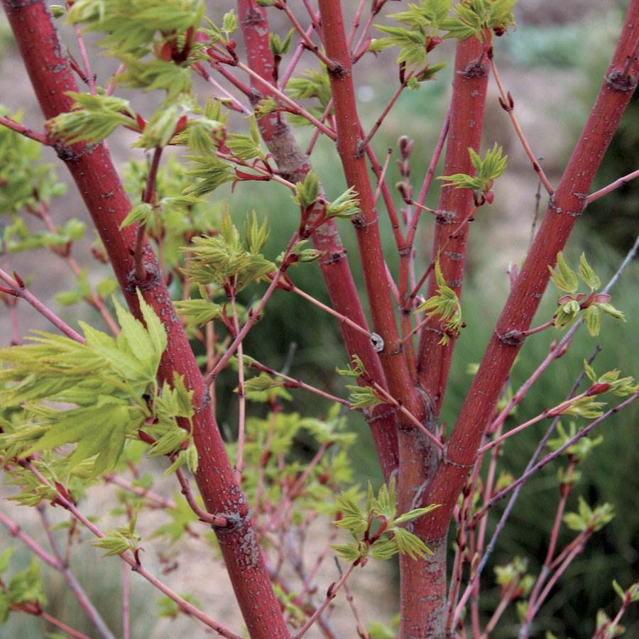 for mature sale japanese maple trees
