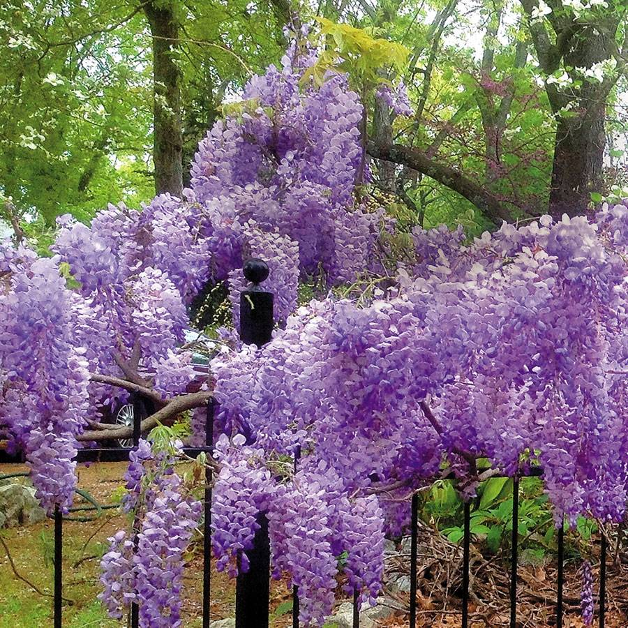 Blue moon wisteria from park seed blue moon wisteria izmirmasajfo