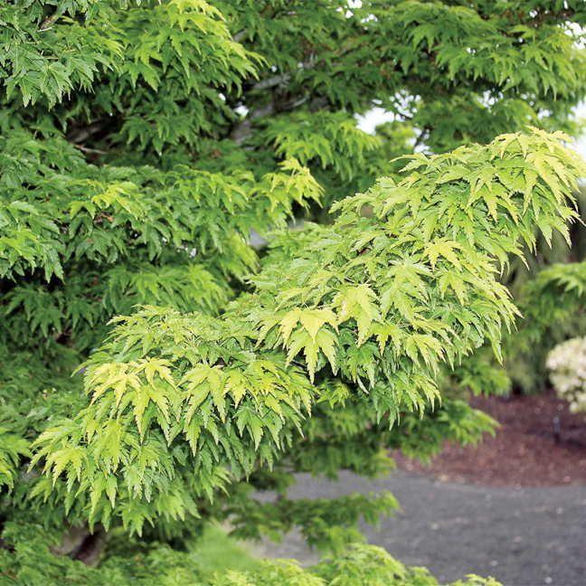 Acer 'Mikawa Yatsubusa' Image