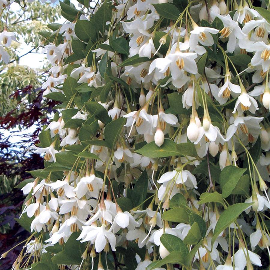 'Fragrant Fountain' Japanese Snowbell Image