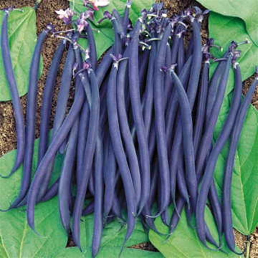 Dwarf Velour French Bush Bean Seeds Image