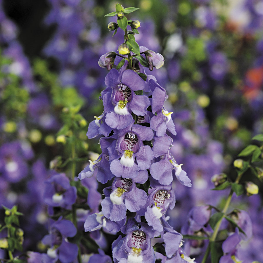 Blue Serena Angelonia Seeds From Park Seed